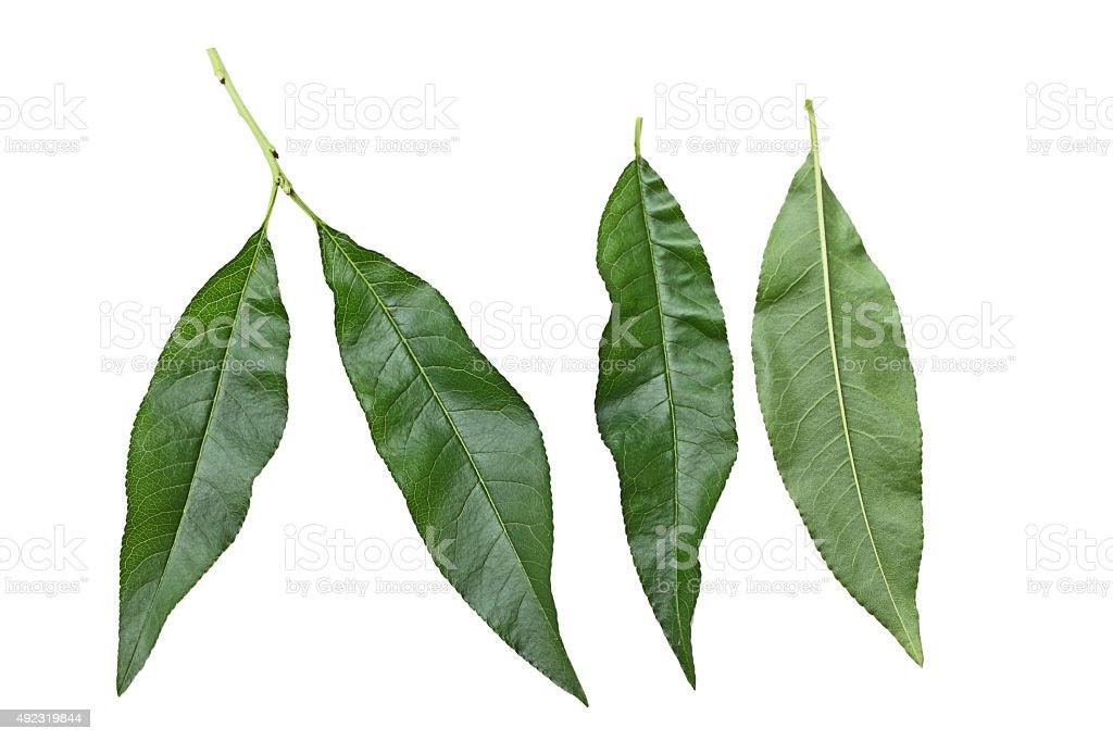 Nectarine Leaf stock photo