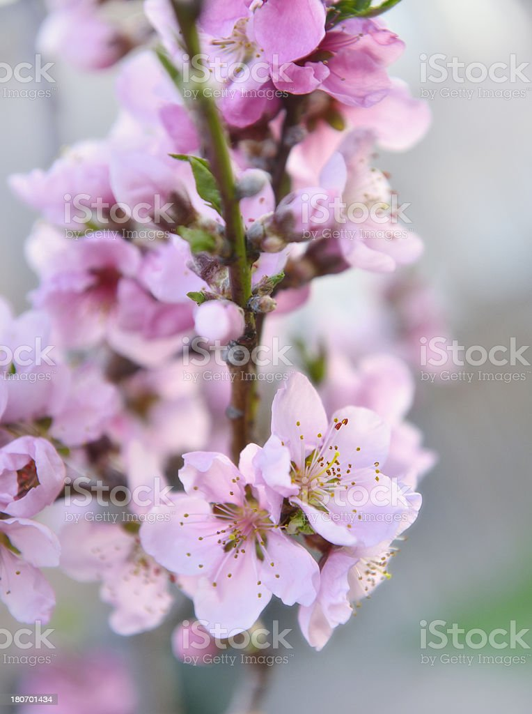 Nectarine orchard in spring stock photo