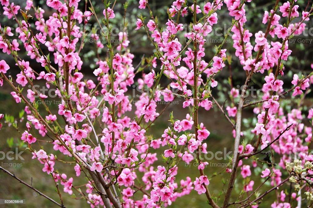 Nectarine tree in full bloom in the spring stock photo