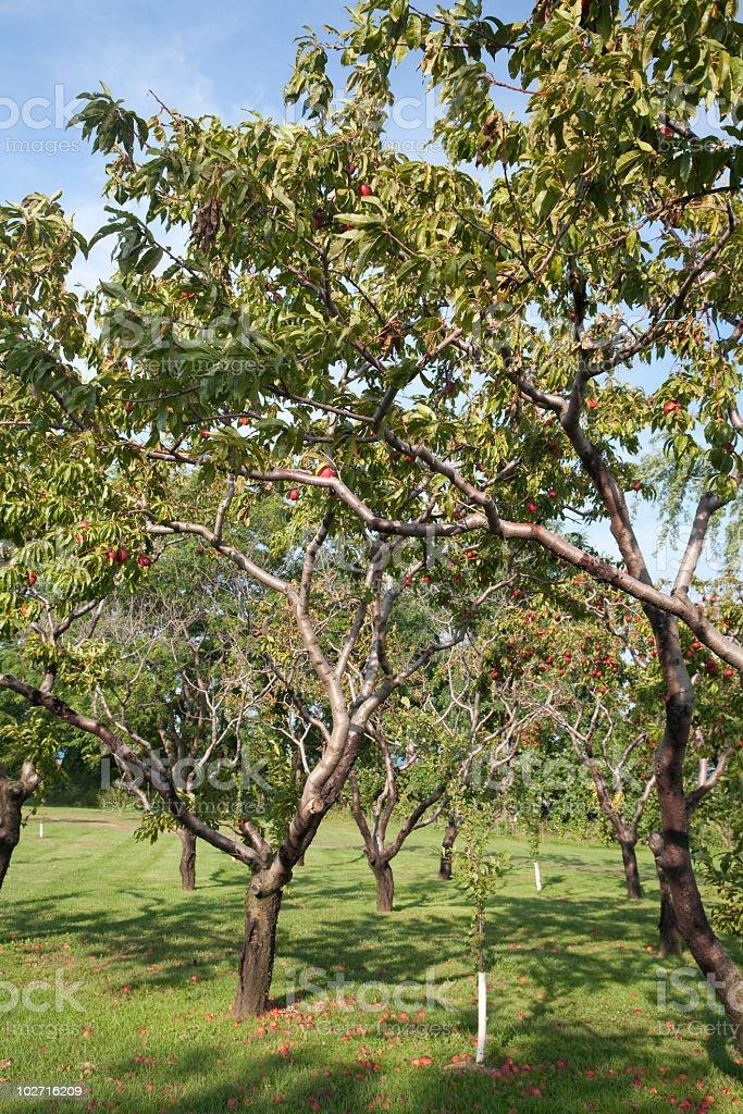 Nectarine tree stock photo