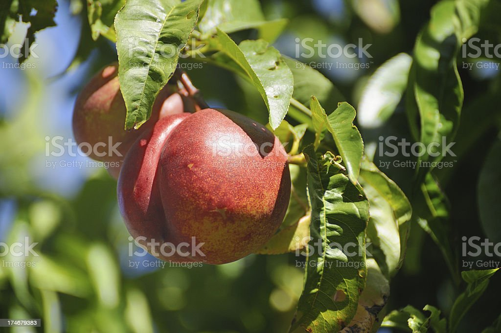 Nectarine tree royalty-free stock photo
