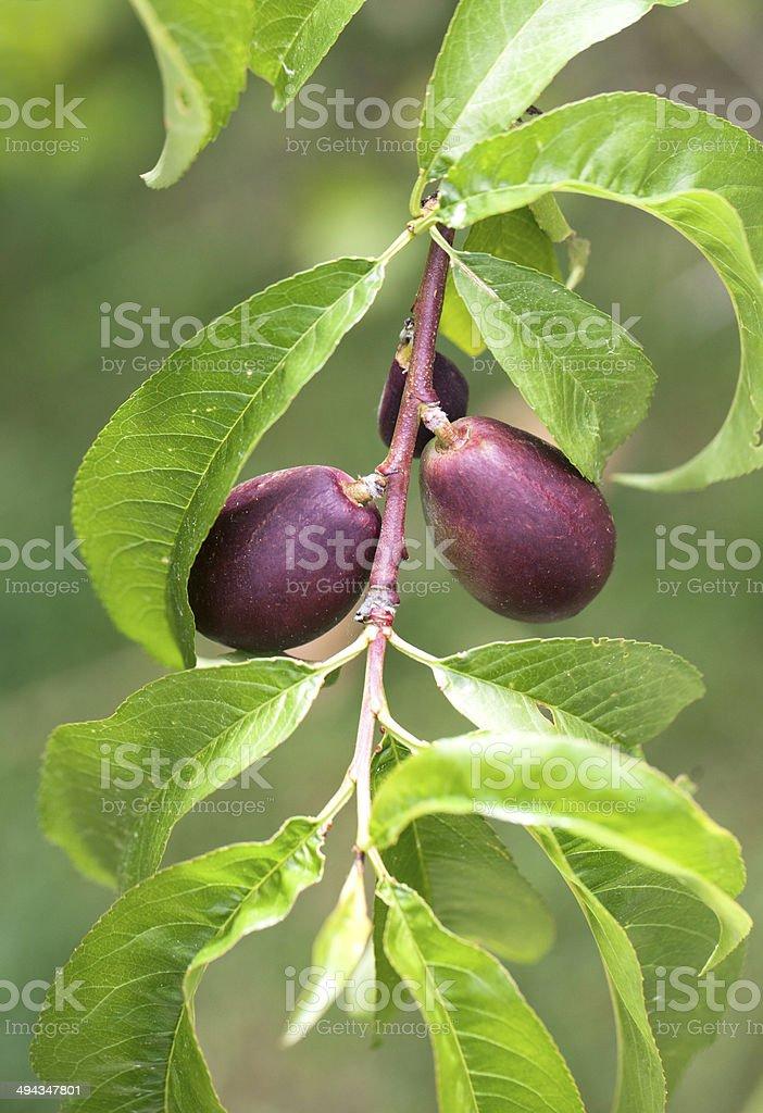 Nectarines on tree stock photo