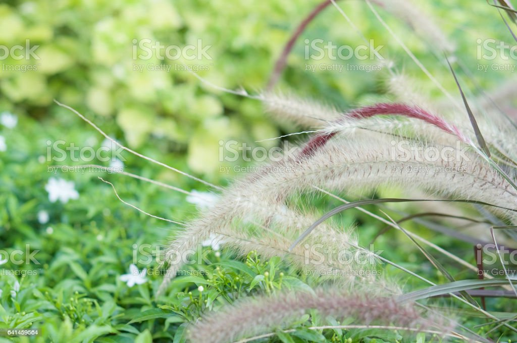 Needle Grass have blur green plant as background stock photo