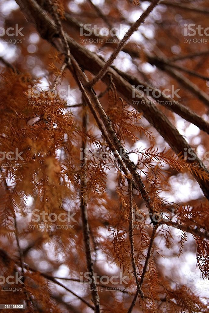 Needled Branches royalty-free stock photo