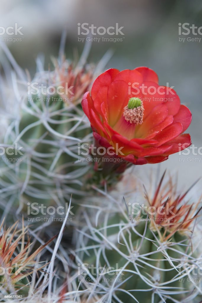 Needles and Bloom of Claret Cup Cactus Vertical stock photo