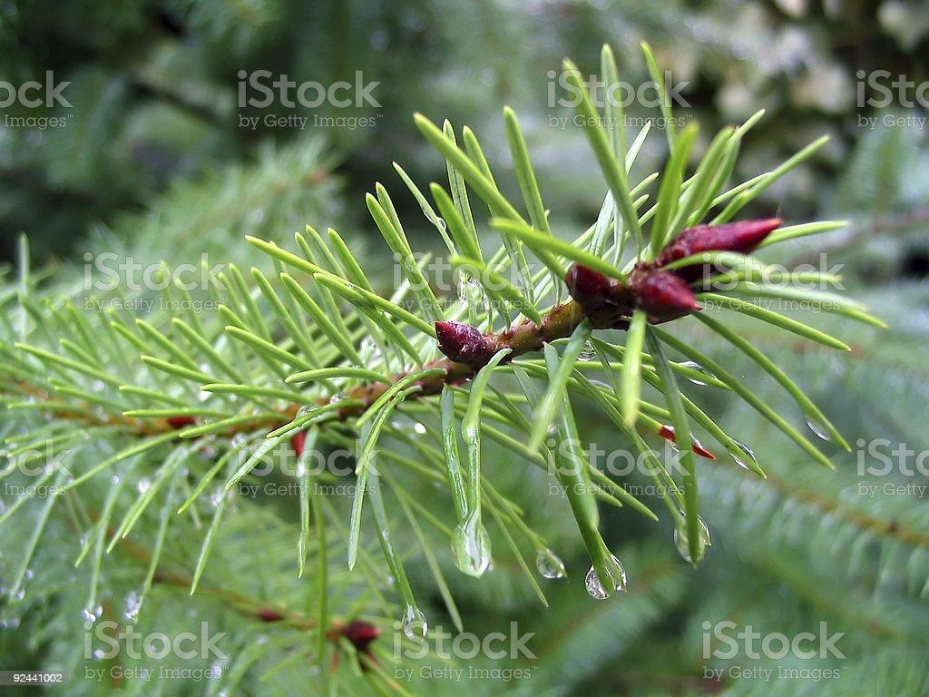 Needles Of A Fir-tree royalty-free stock photo