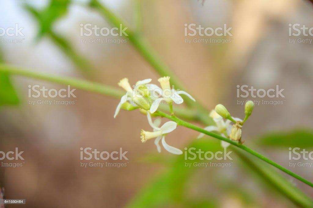 Neem Flower on tree stock photo