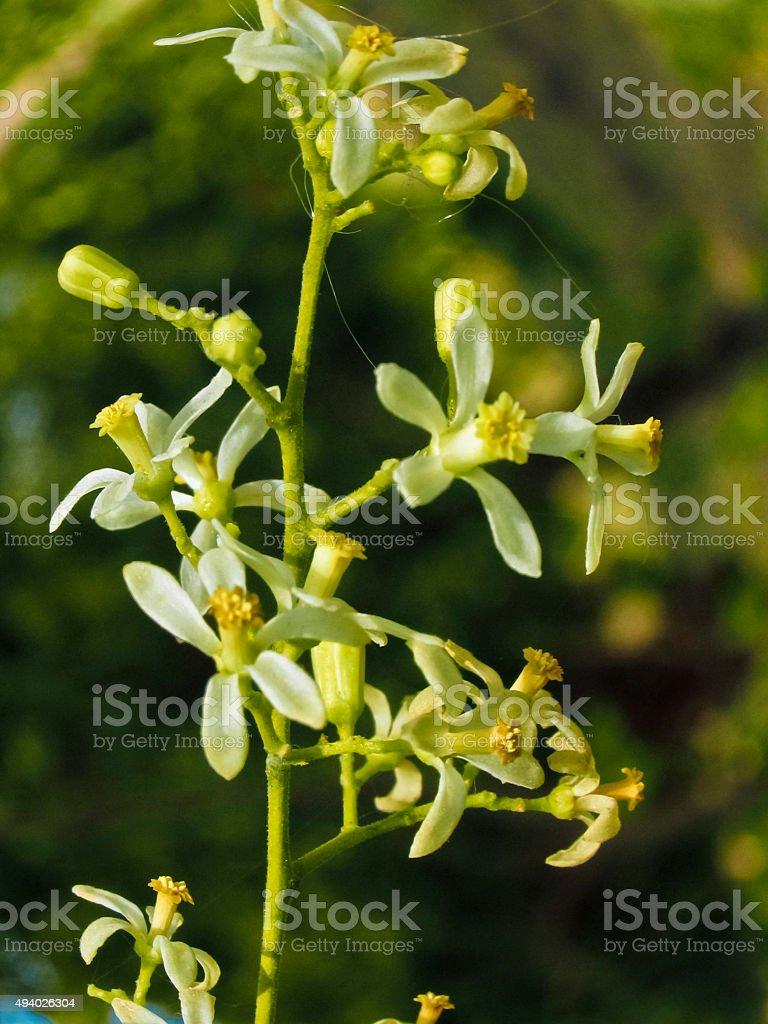 Neem Flowers, Azadirachta indica A. Jus stock photo