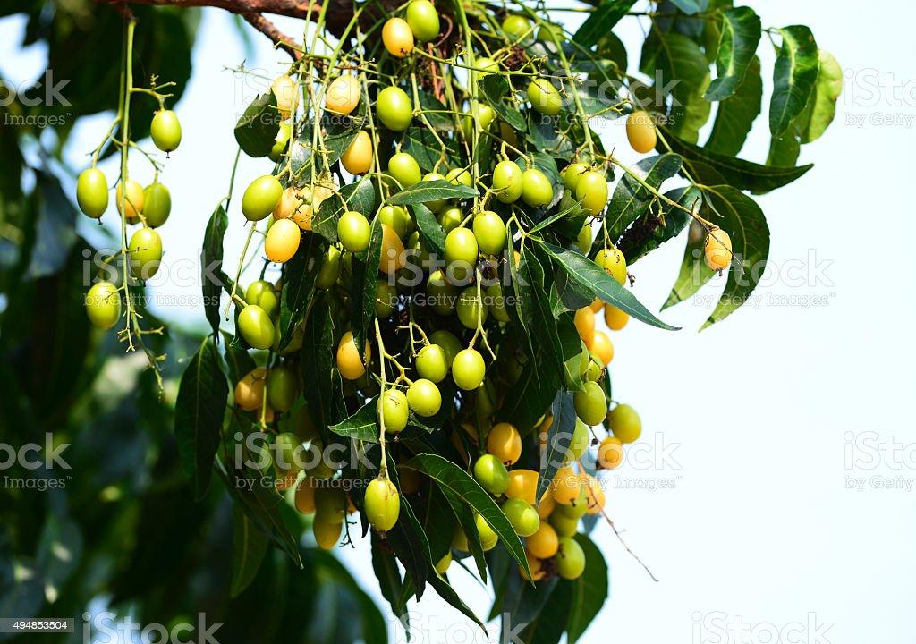 Ne-em leaves and flowers or Margosa flower in Thailand stock photo