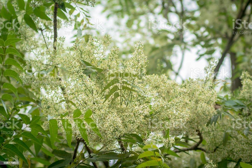 Ne-em leaves and flowers or Margosa flower stock photo
