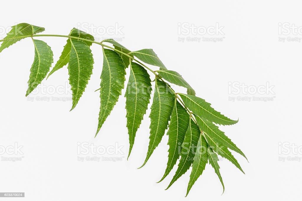 Neem (Margosa) leaves stock photo