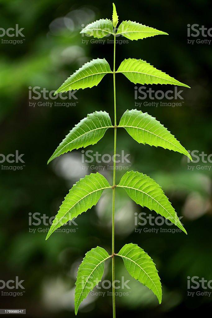 Neem leaves-Azadirachta indica royalty-free stock photo