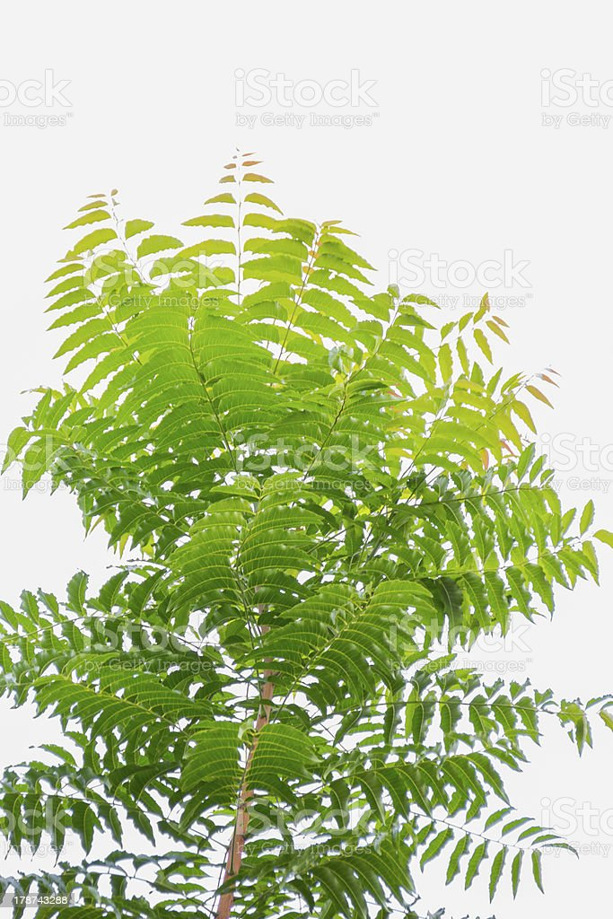 Neem on a white background. royalty-free stock photo