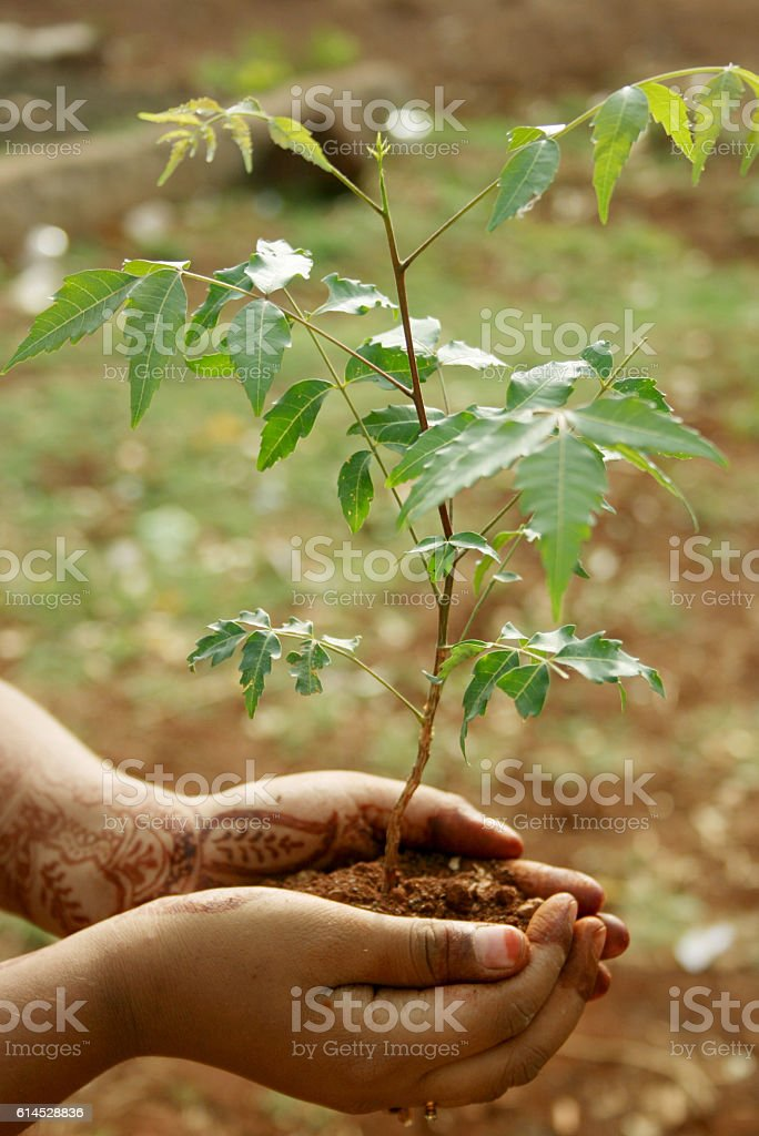 Neem Plan in a Child Hand stock photo
