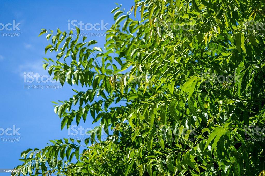 Neem plan tree in garden stock photo