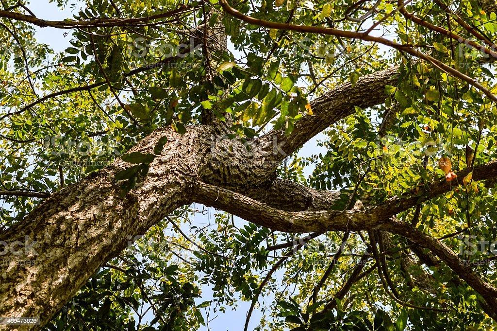 Neem plan tree stock photo