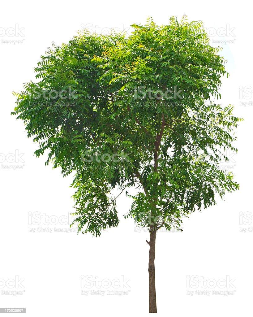 Neem plant (Azadirachta indica) 1 stock photo