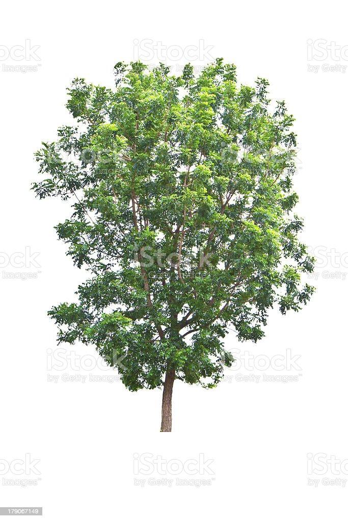 Neem plant  isolated on white background royalty-free stock photo