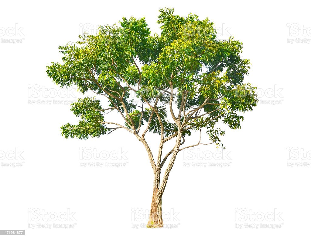Neem plant (Azadirachta indica) stock photo