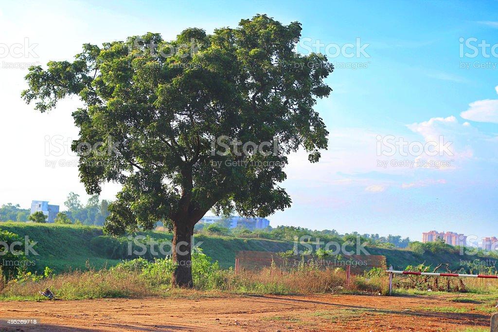 Neem tree at ECR Chennai stock photo