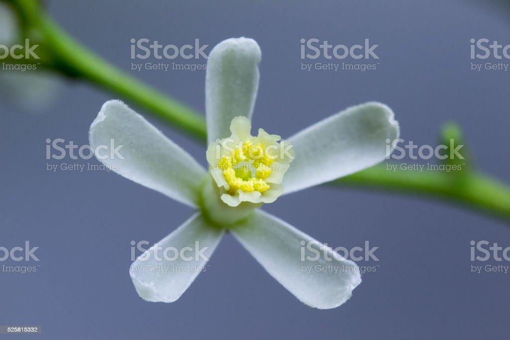Neem Tree Flower stock photo