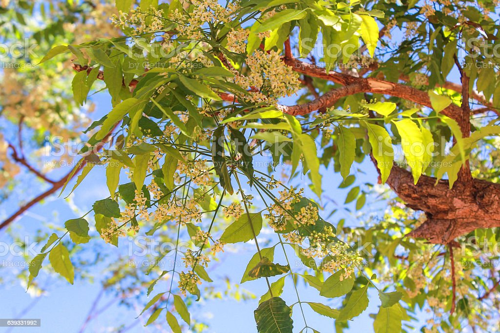 Neem tree, neem flower, A bitter taste stock photo
