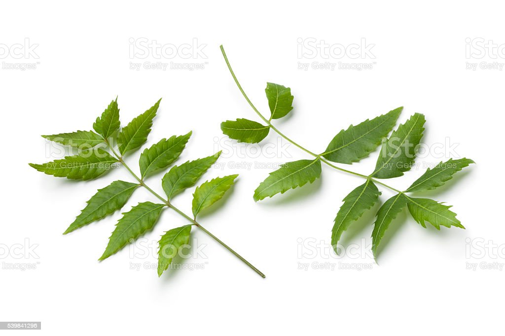 Neem twigs and leaves stock photo