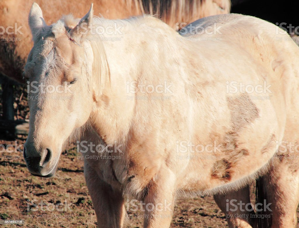 Neglected, Abused and Injured Horse stock photo