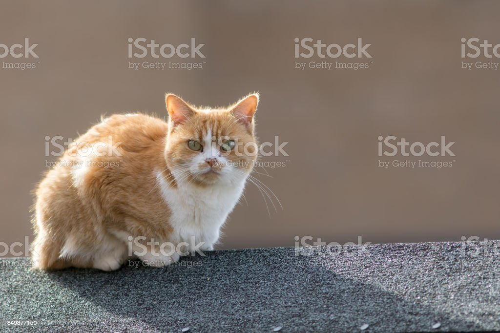 Neighborhood moggy. Domestic street cat on garden shed roof. stock photo