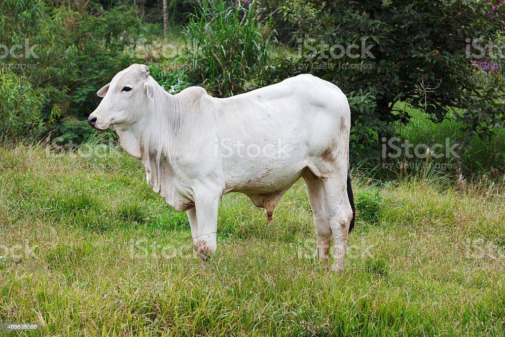 Nellore - brazilian beef cattle bull in field stock photo