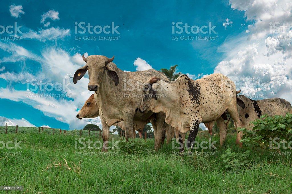Nelore cattle in Brazil stock photo