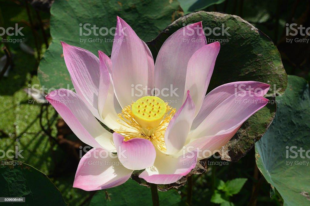Nelumbo Lotus stock photo