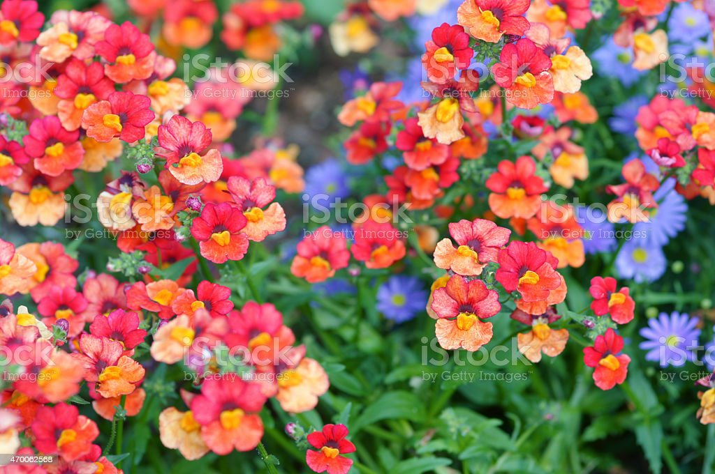Nemesia stock photo