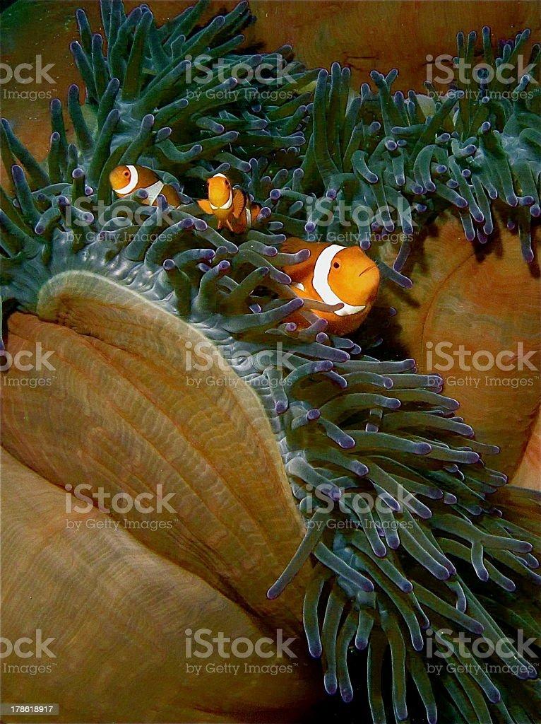Nemo and family royalty-free stock photo