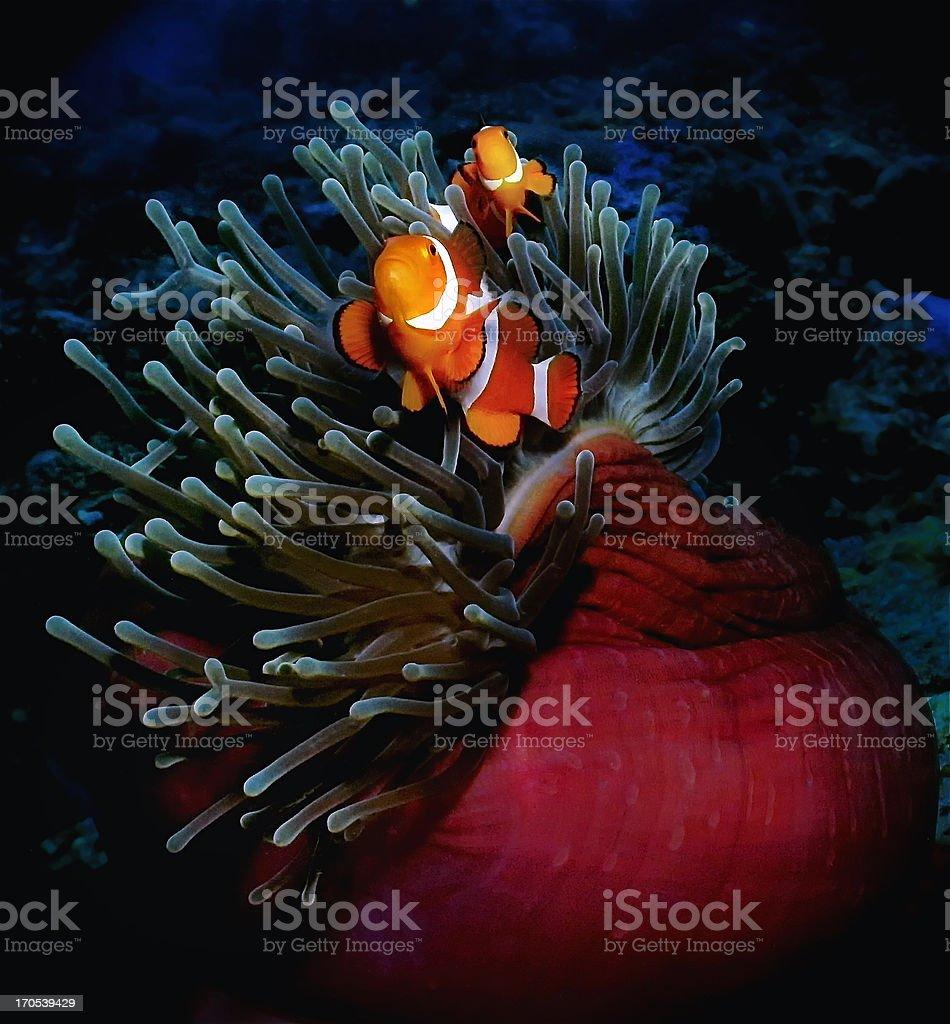 Nemo at home on anemone, Puerto Galera, Philippines royalty-free stock photo