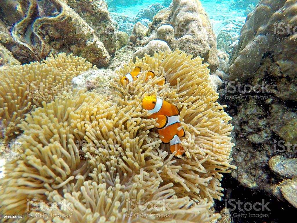 Nemo Fish stock photo