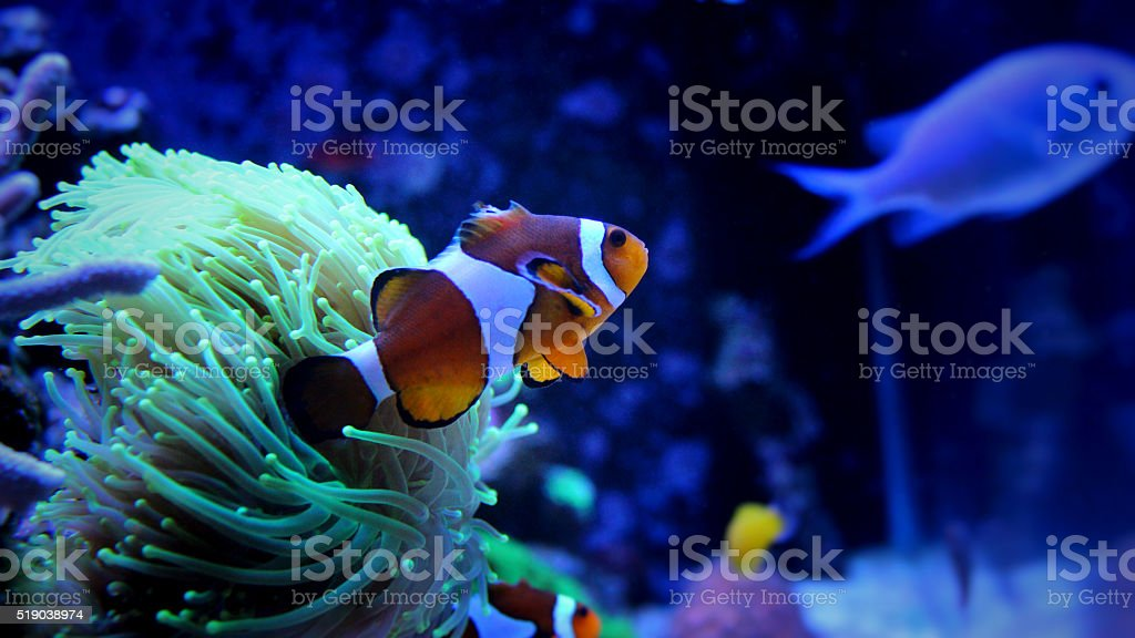 Nemo (clown fish) in aquarium stock photo