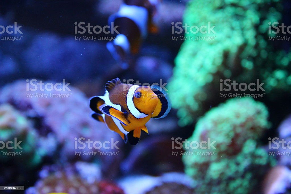 Nemo (Ocellaris Clownfish) stock photo
