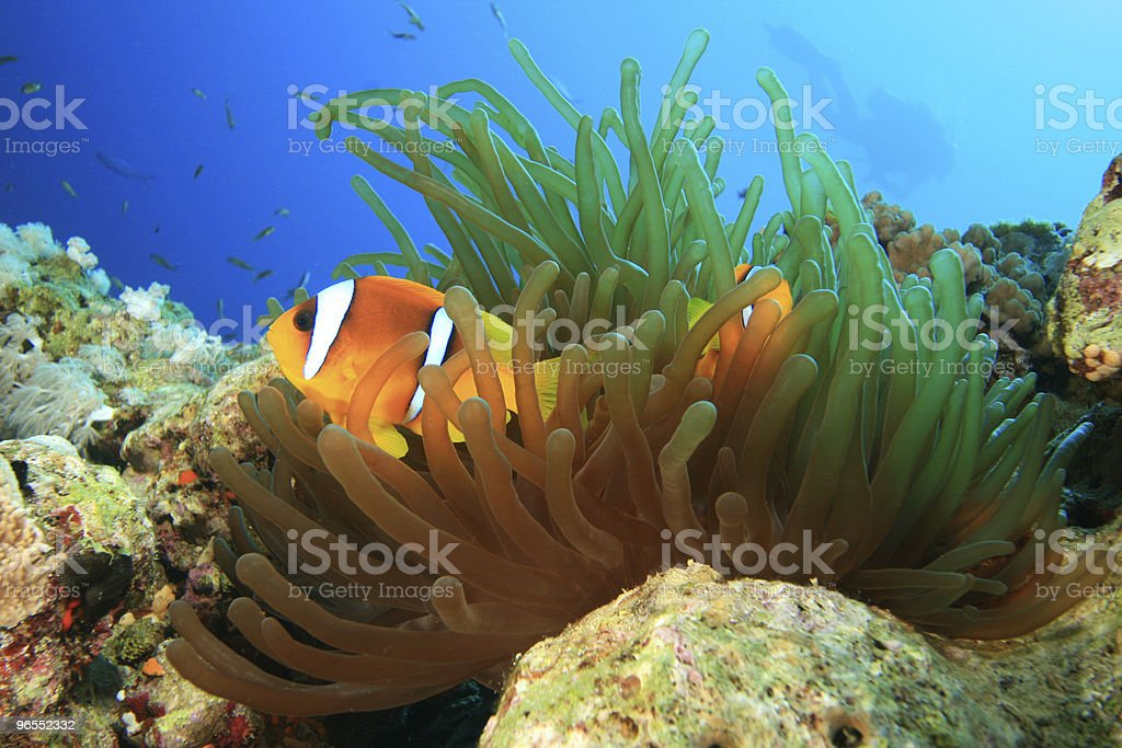 Nemo with Diver in Background stock photo