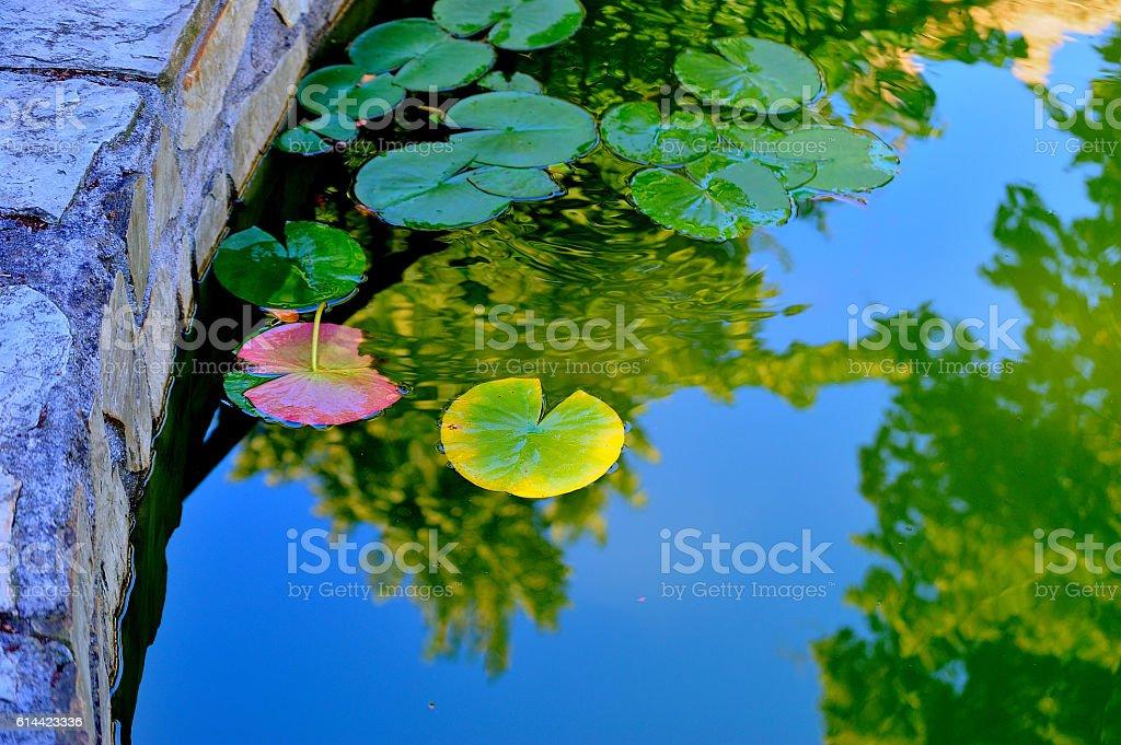 nenúfares  verdes royalty-free stock photo