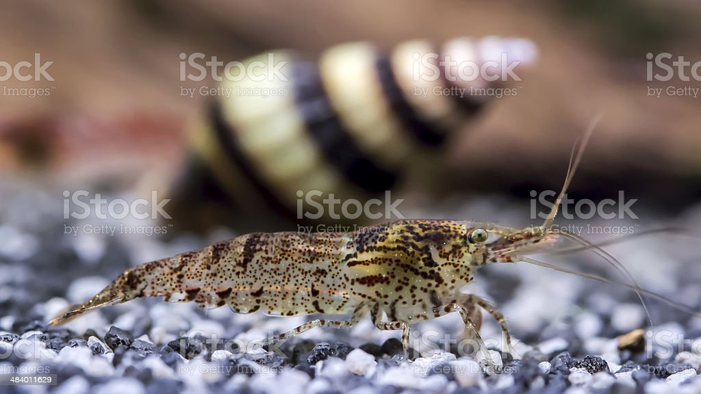 Neocaridina davidi stock photo