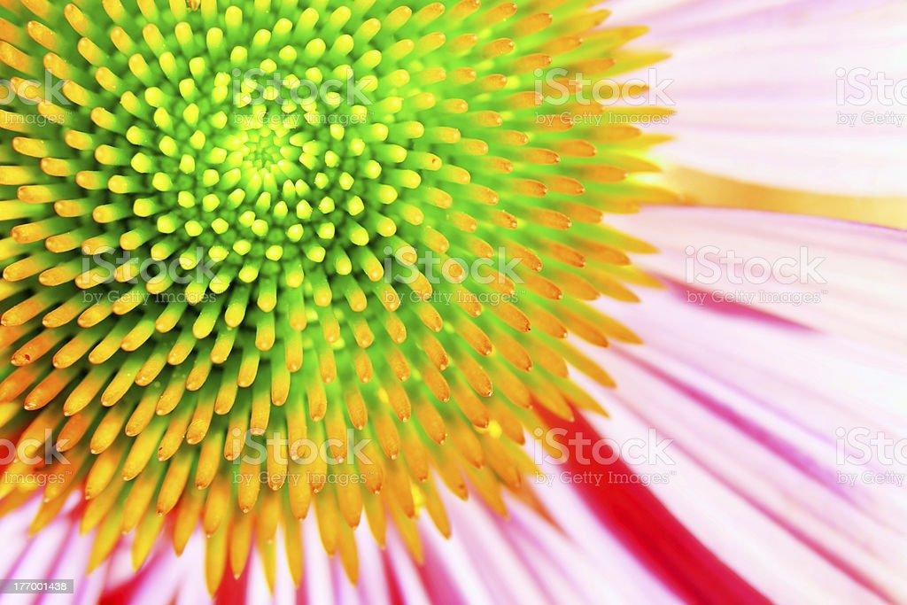 Neon echinacea or purple coneflower royalty-free stock photo