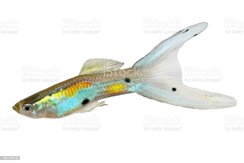Neon Endler Guppy Double Swordtail Male Guppies Poecilia wingei colorful tropical aquarium fish stock photo