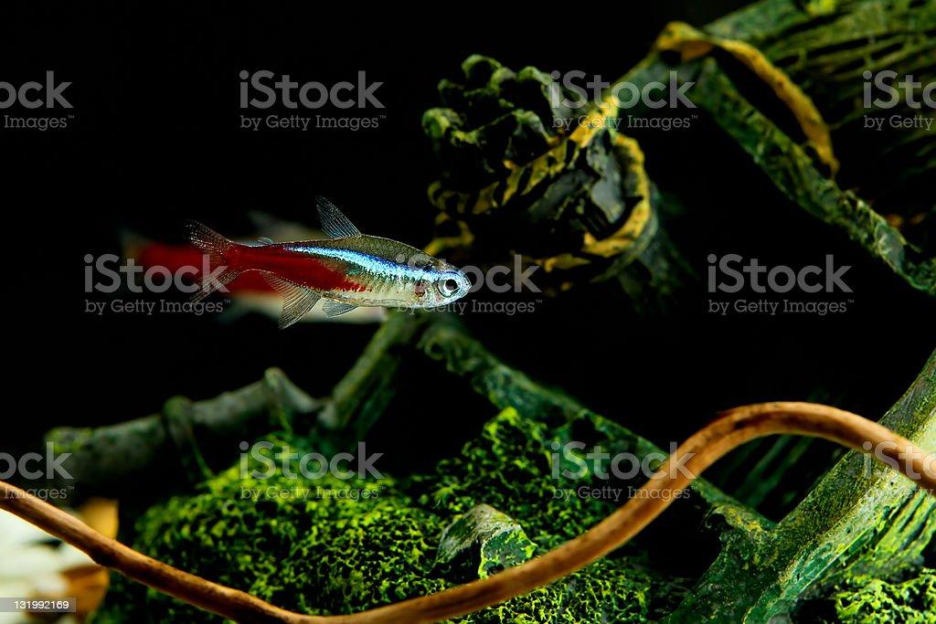 Neon fish in aquarium stock photo