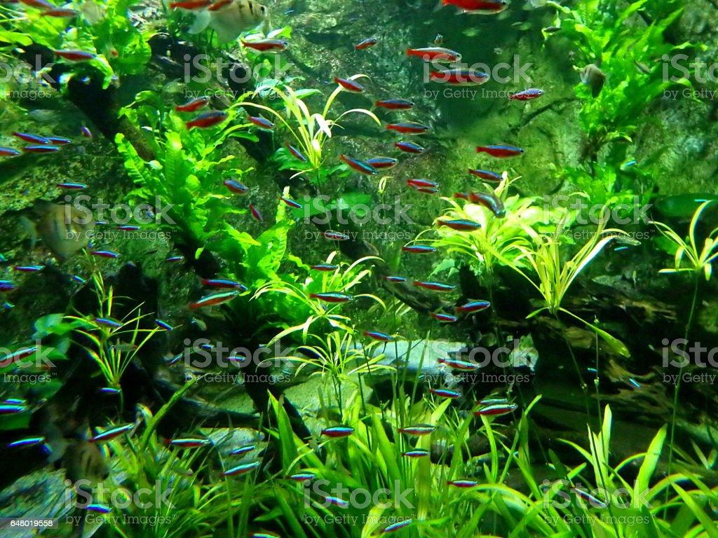 neon tetra fish stock photo