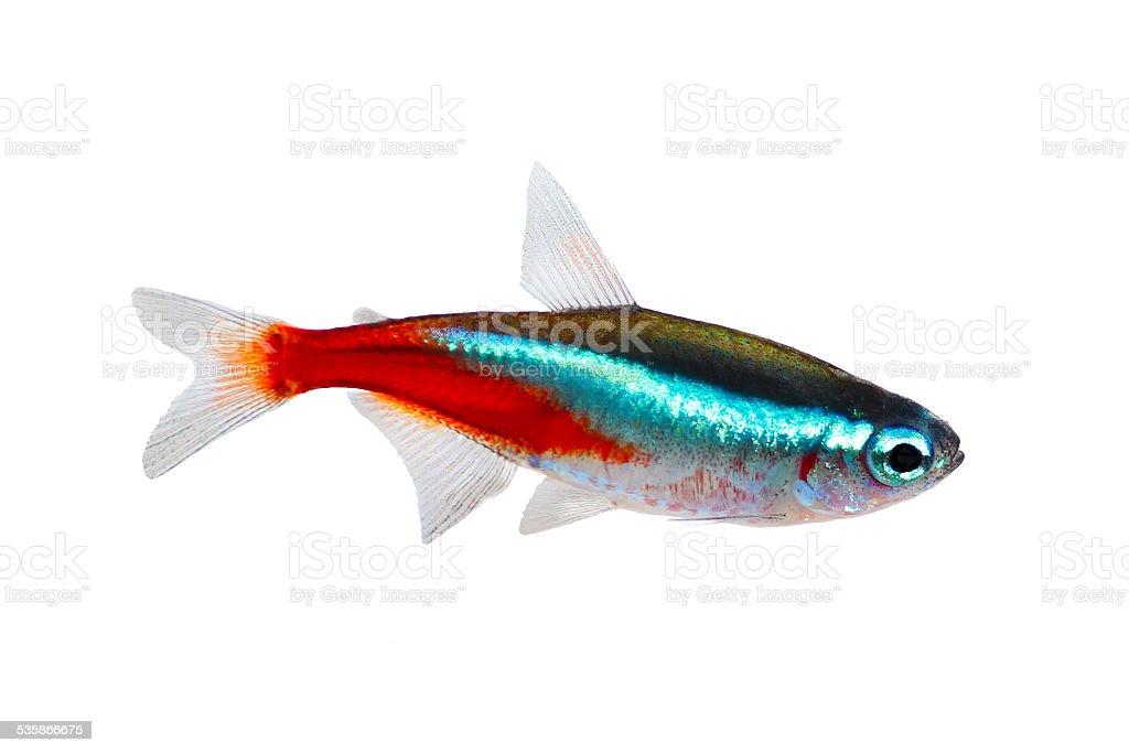 Neon Tetra Paracheirodon innesi freshwater tropical fish isolated on white stock photo