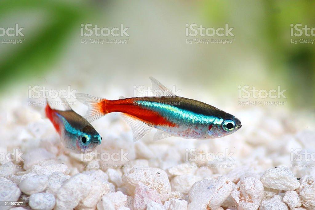 Neon Tetra Paracheirodon innesi freshwater tropical fish stock photo