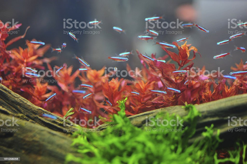 neon tetra stock photo