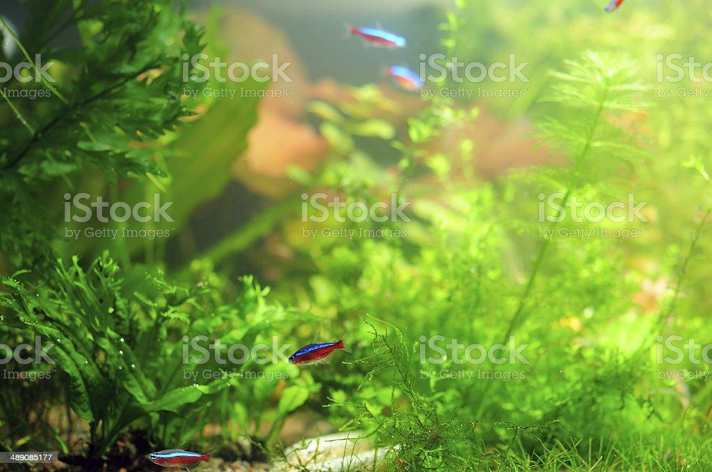 Neon tetra (Paracheirodon Innesi) stock photo