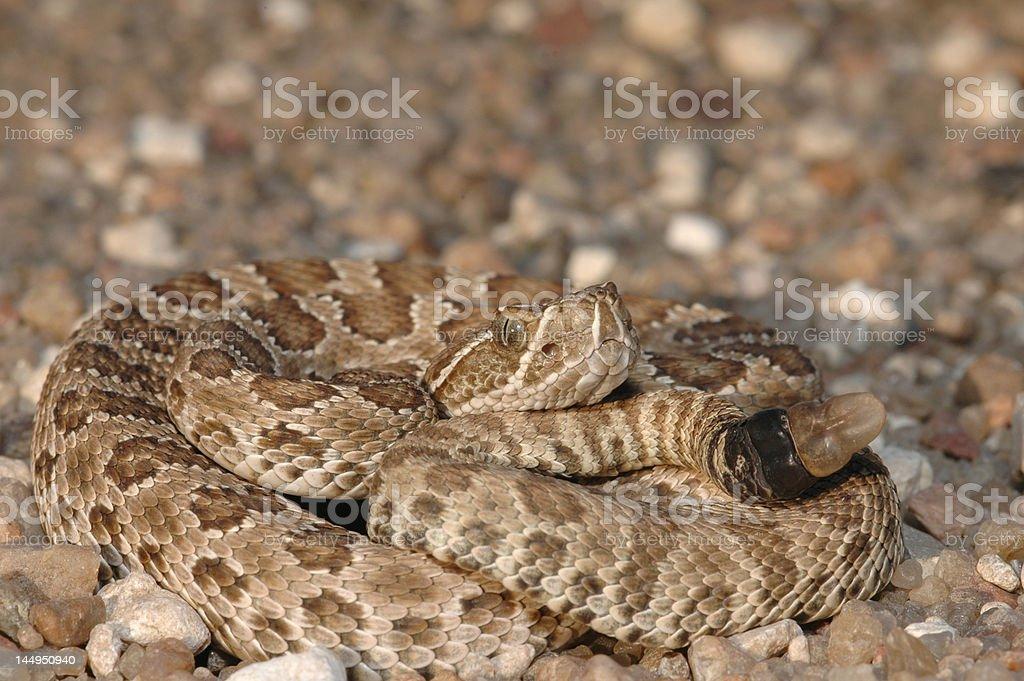 Neonate Prairie Rattlesnake stock photo